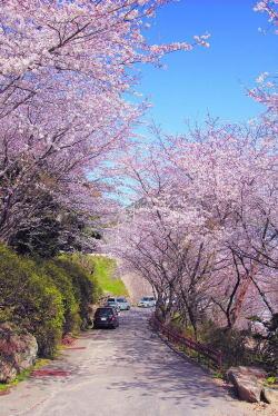 おかたの杜(遊歩道)・桜2