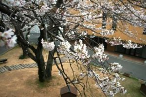 桜の開花状況7