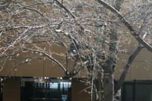 桜の開花状況2