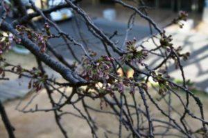 桜の開花状況11
