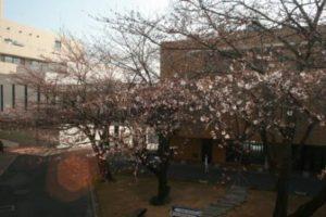 桜の開花状況10