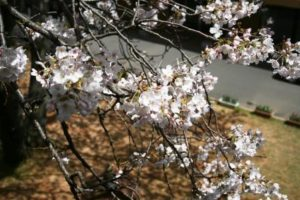 桜の開花状況5