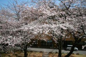桜の開花状況6