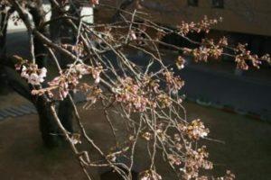 桜の開花状況9