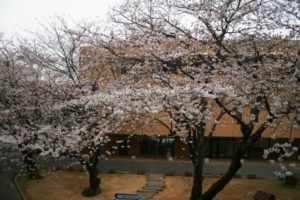 桜の開花状況8